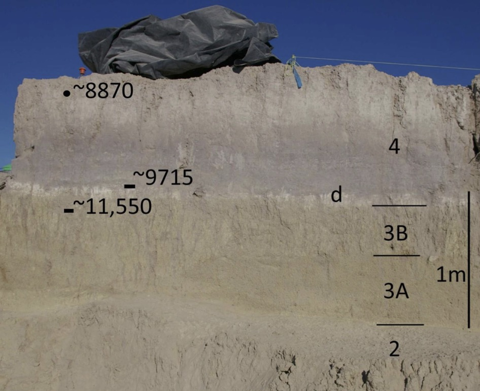 Figure 3. Stratigraphy at Locality 1 showing strata 2, 3, 4 (the white layer at the base of 4 is lacustrine diatomite (d) and the gray portion of 4 is marsh sediment), and key radiocarbon dates (C14 years) (rectangle = charcoal; circle = Succinid).