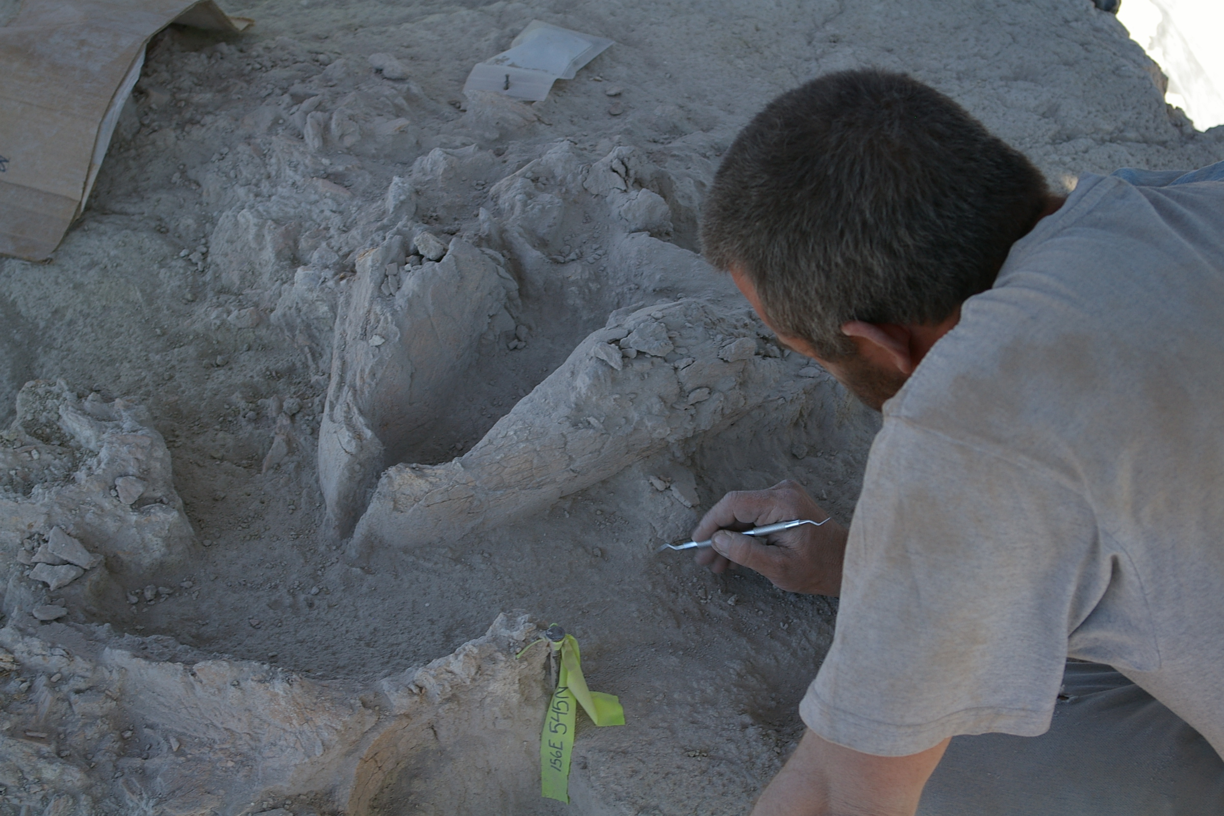 Figure 5. The mandible of Gomphothere #2 during excavation. The dentition, key to the identification of the species, was not exposed until some months after excavation in the lab.